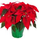 photo of poinsettia plant